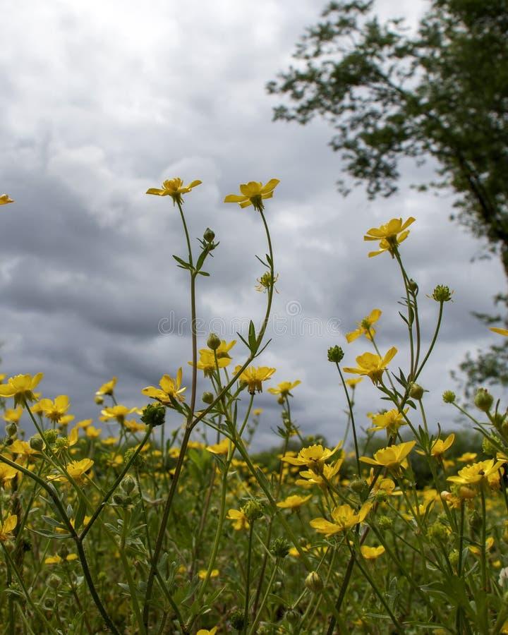 Серые облака над желтыми цветками стоковое изображение