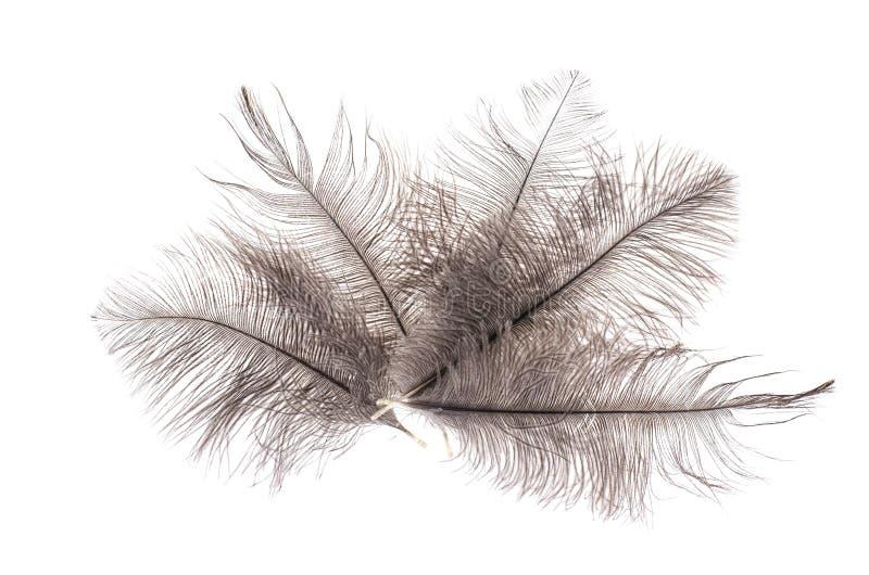 Серые пер страуса стоковое фото rf