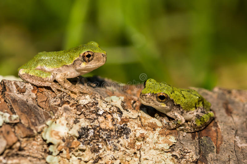 Серые древесные лягушки стоковая фотография