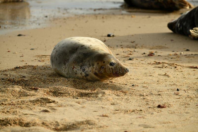 Серые уплотнения lounging на Horsey пляже зазора стоковые изображения rf