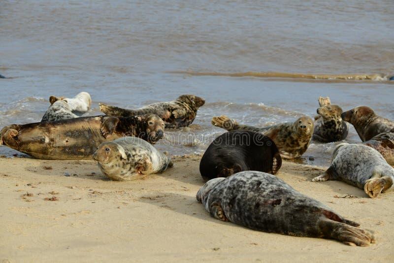 Серые уплотнения lounging на Horsey пляже зазора стоковые фото