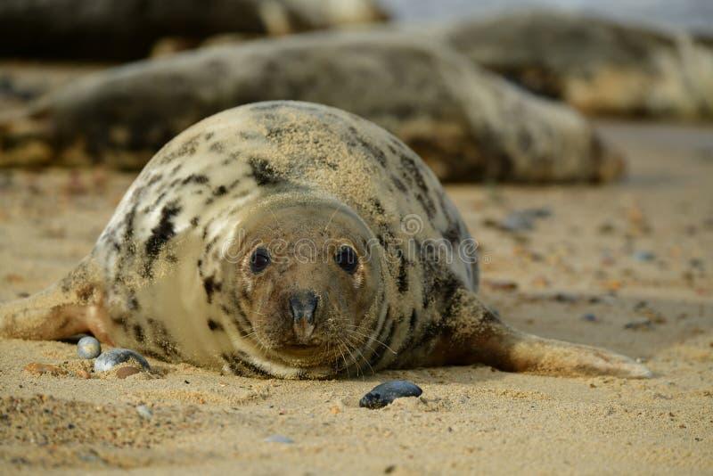 Серые уплотнения lounging на Horsey пляже зазора стоковые фотографии rf
