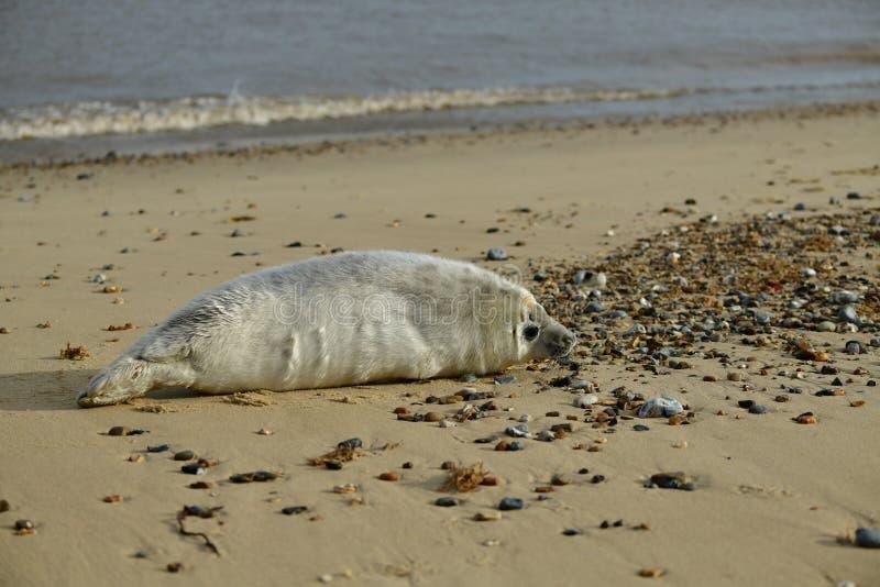 Серые уплотнения lounging на Horsey пляже зазора стоковые изображения