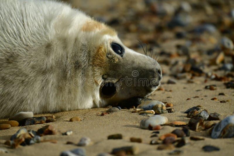 Серые уплотнения lounging на Horsey пляже зазора стоковая фотография rf