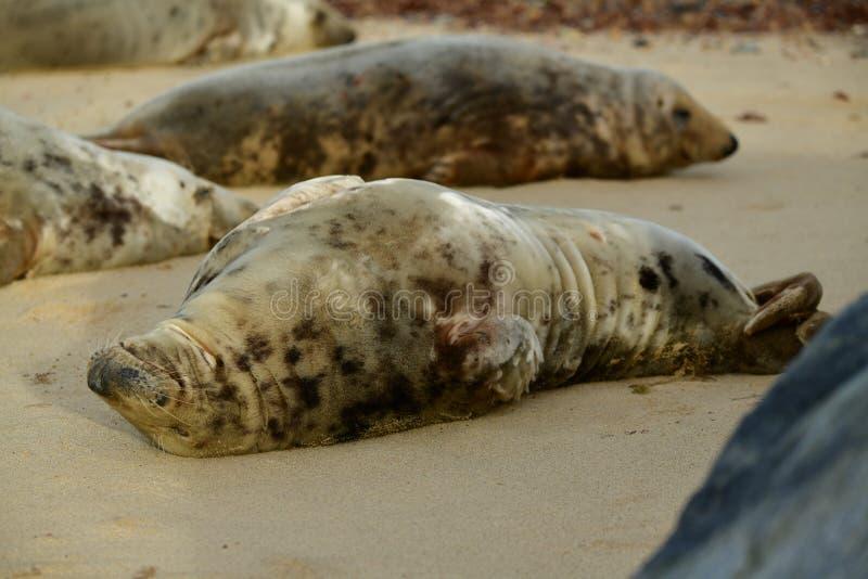 Серые уплотнения lounging на Horsey пляже зазора стоковое фото
