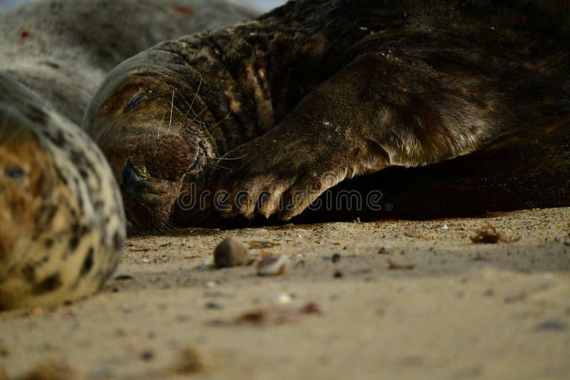 Серые уплотнения lounging на Horsey пляже зазора стоковое фото rf