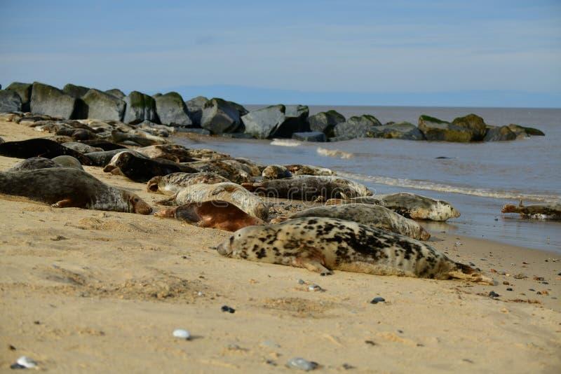 Серые уплотнения lounging на Horsey пляже зазора стоковая фотография