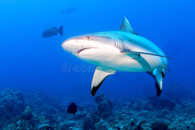 Серые челюсти акулы готовые для того чтобы атаковать в синь стоковое фото rf