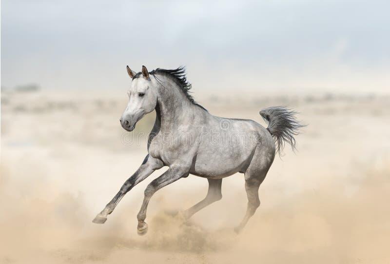 Серый аравийский жеребец в пустыне стоковое изображение rf