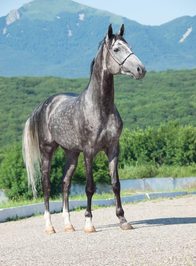 Серый аравийский жеребец на предпосылке горы стоковое фото