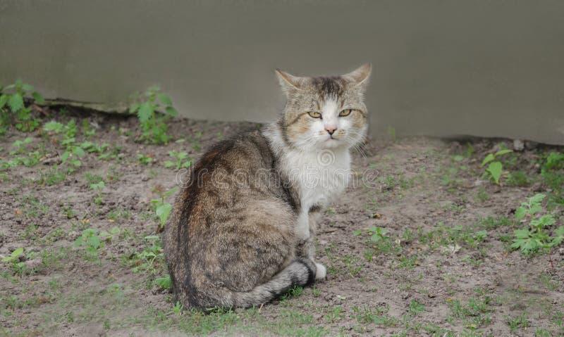 Download Серый большой кот стоковое изображение. изображение насчитывающей уши - 81802779