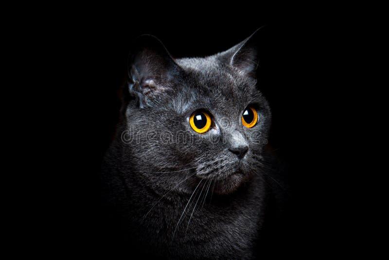 Серый великобританский кот shorthair на черной предпосылке стоковое изображение rf
