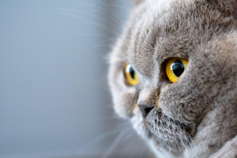 Серый великобританский кот shorthair с янтарными глазами стоковое изображение