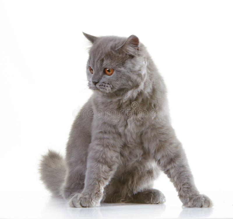 Download Серый великобританский длинный котенок волос Стоковое Фото - изображение насчитывающей меховой, лапка: 41658618