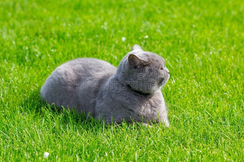 Серый великобританский кот в траве стоковое фото