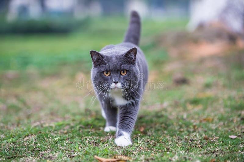 Серый великобританский кот стоковая фотография rf