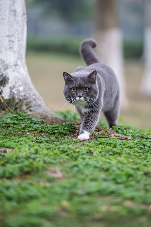 Серый великобританский кот стоковая фотография