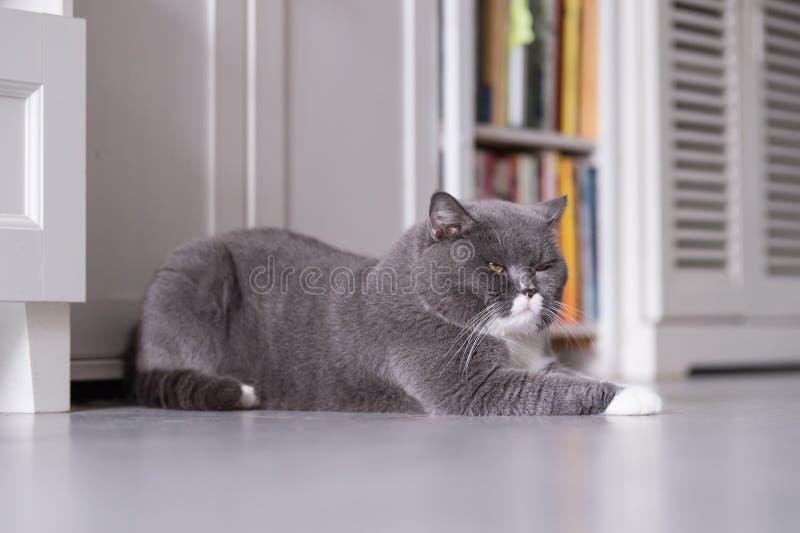 Серый великобританский кот стоковые фотографии rf