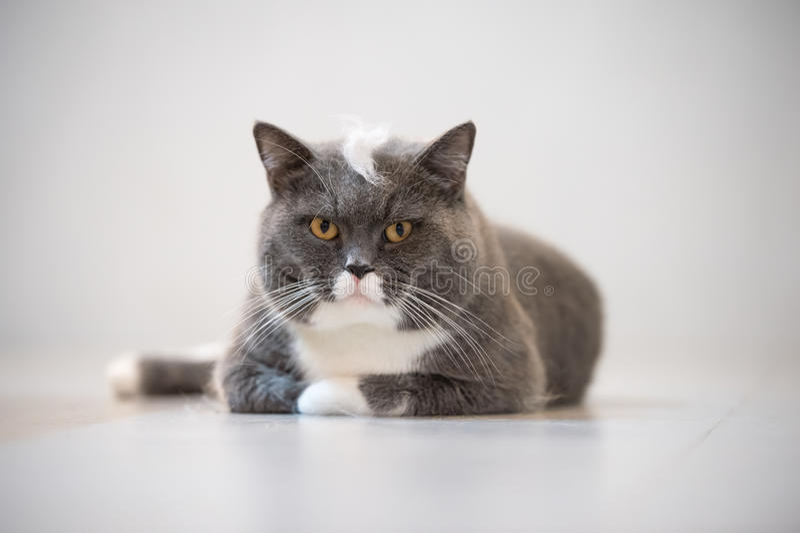 Серый великобританский кот стоковое фото