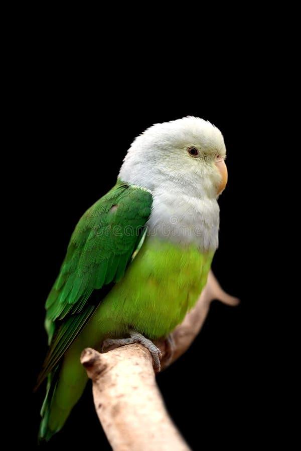 серый возглавленный lovebird стоковое фото rf
