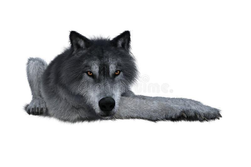 Серый волк лежа вниз стоковые фото