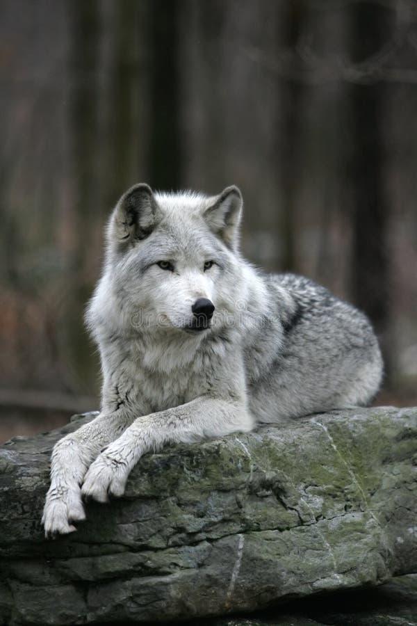 объявления фотографии серого волка происходили практически
