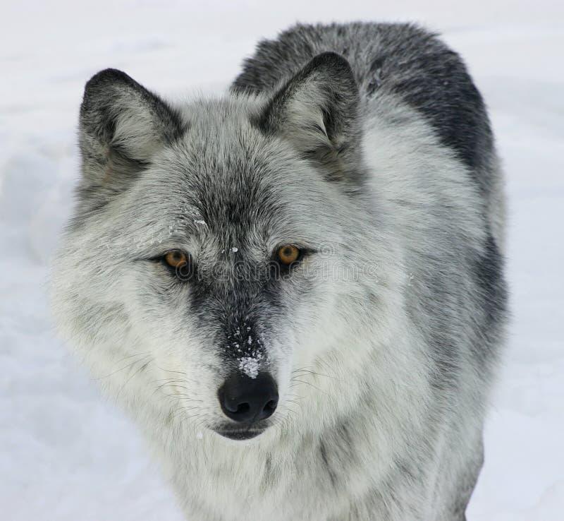Download серый волк стоковое фото. изображение насчитывающей perceptive - 482136