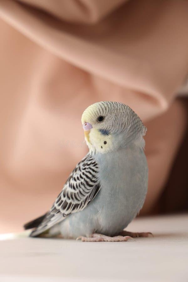 Серый волнистый попугай стоковое фото rf