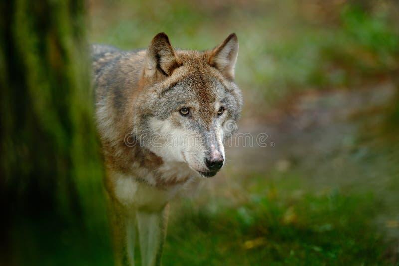 Серый волк, волчанка волка, в зеленом портрете детали леса листьев волка в сцене живой природы леса от к северу от Европы E стоковое изображение rf