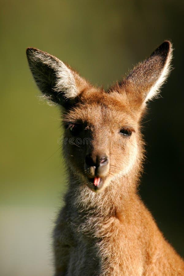 серый кенгуру западный Стоковые Изображения RF