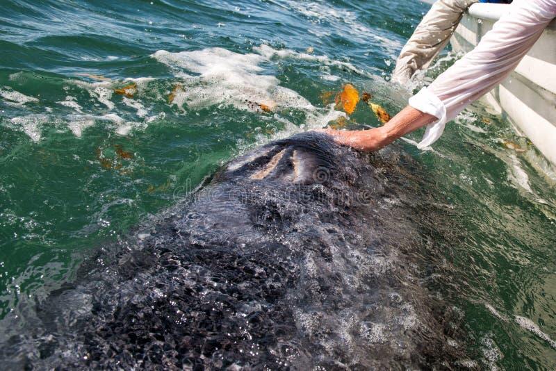 Серый кит причаливая шлюпке стоковые фото
