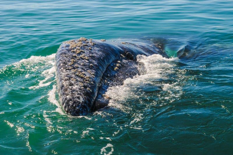 Серый кит (robustus) Eschrichtius, Мексика стоковые изображения