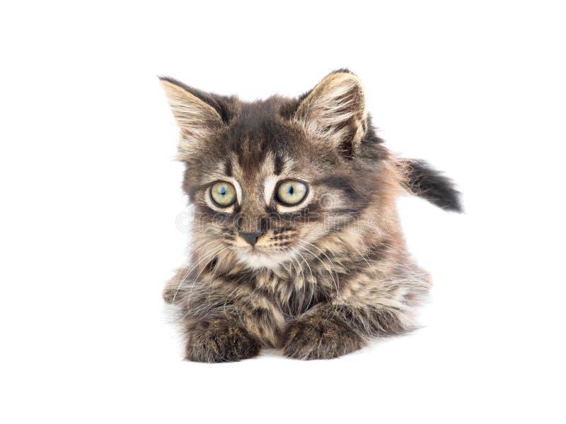 Серый котенок лежит на белизне стоковые изображения