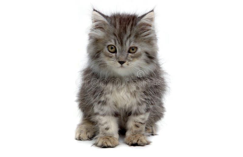 серый котенок стоковое изображение