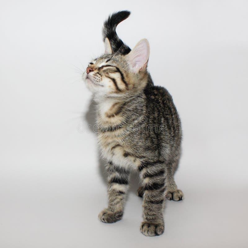 Серый котенок tabby стоковое изображение