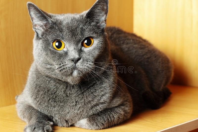 Серый кот британцев Shorthair сидя на светлой предпосылке стоковое изображение