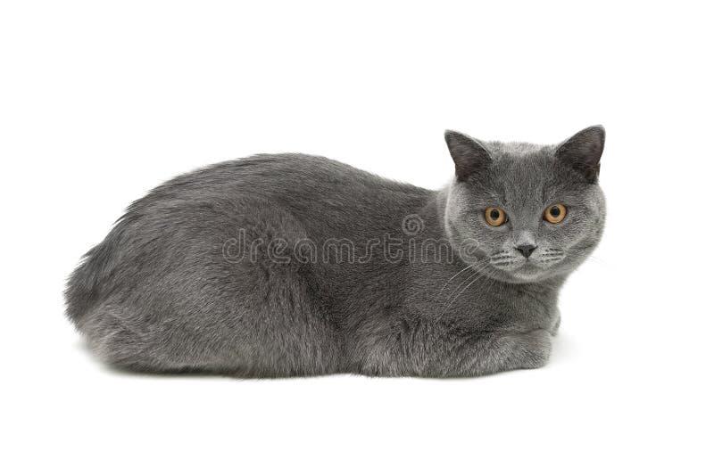 Серый кот (время 10 0 месяцев) лежа на белой предпосылке стоковое фото rf