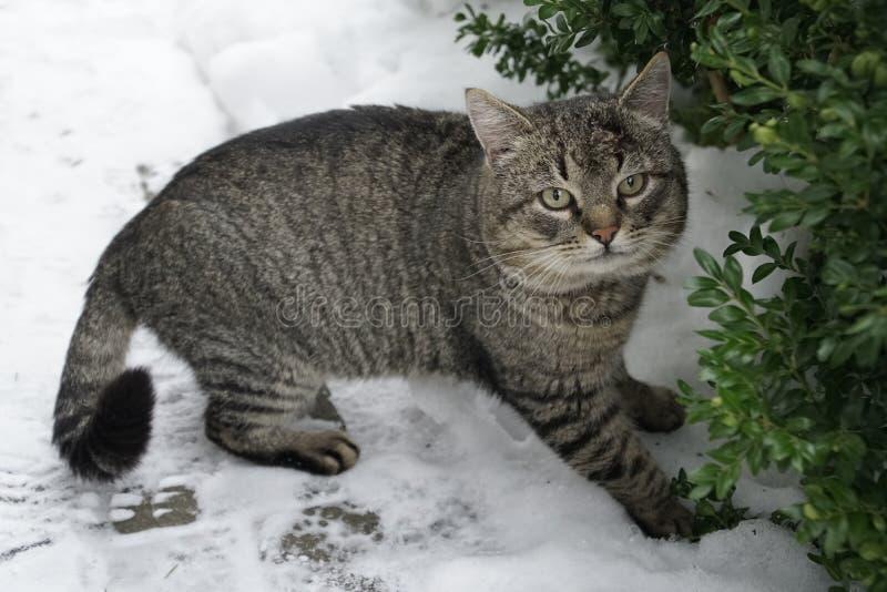 Серый кот Зима, январь снежок зеленый цвет глаз кота стоковые изображения rf