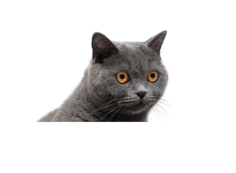 Серый кот на белой предпосылке сидит за белым знаменем стоковые изображения