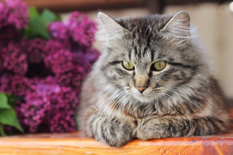 Серый кот на предпосылке сирени стоковые изображения rf