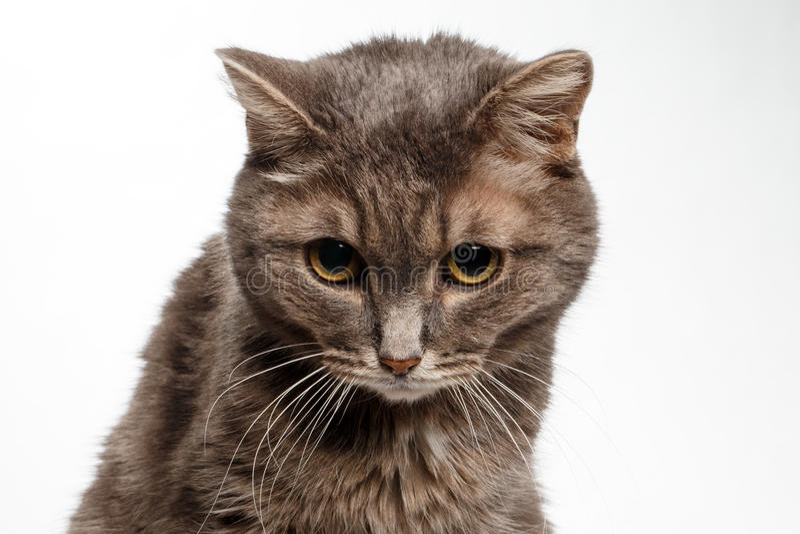 Серый кот понизил его голову виновно стоковая фотография rf