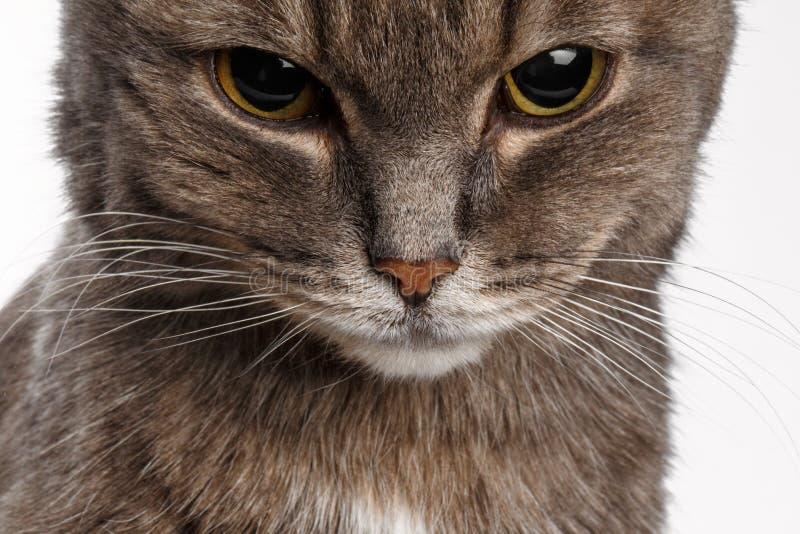 Серый кот понизил его голову виновно стоковая фотография