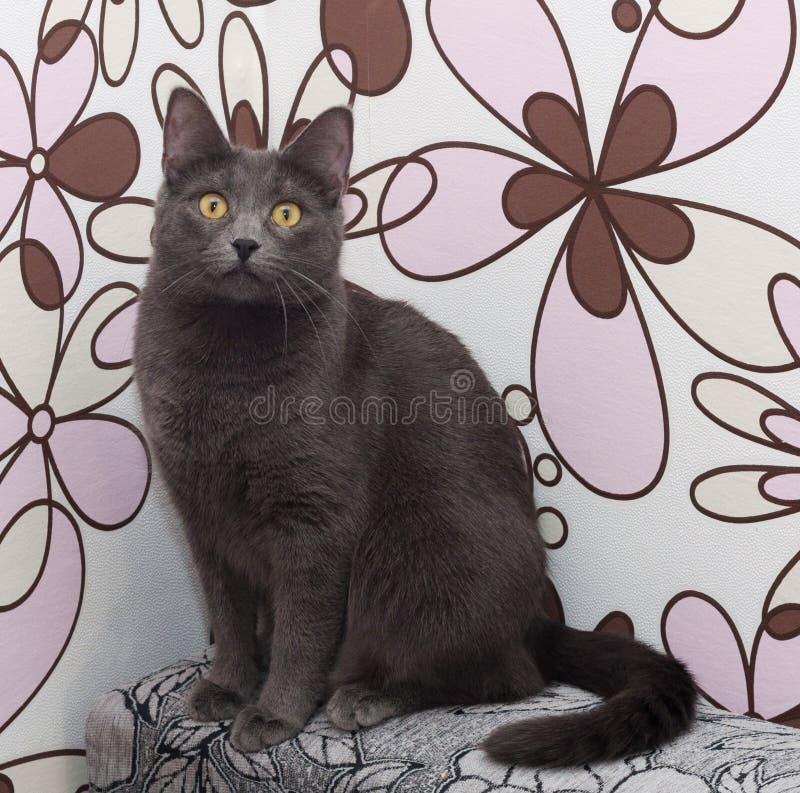 Download Серый кот сидя на красочном Стоковое Изображение - изображение насчитывающей любимчики, angoras: 40581013