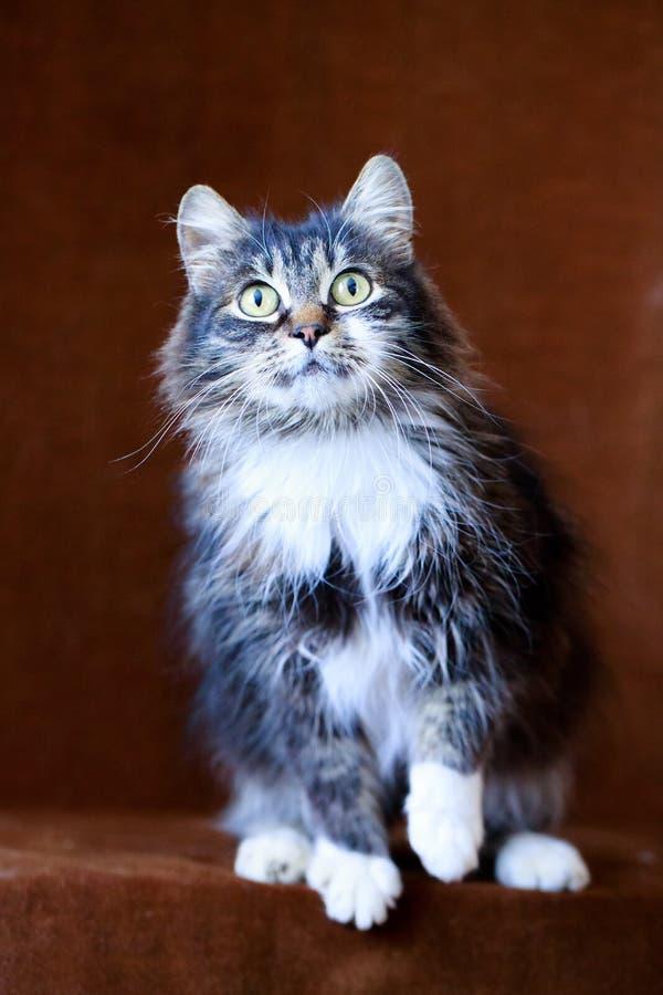 Серый кот с большими глазами Стоковое Изображение
