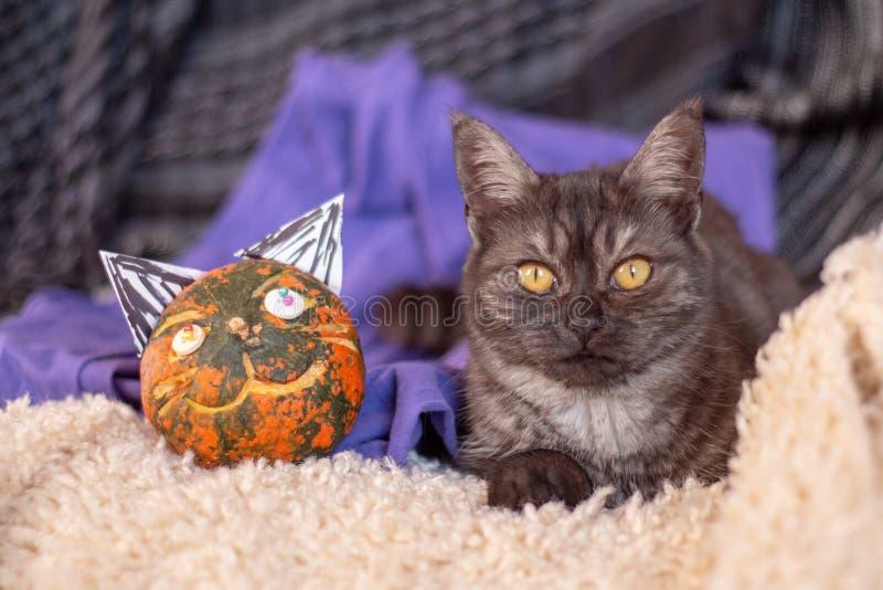 Серый кот с кошачьей тыквой стоковая фотография rf