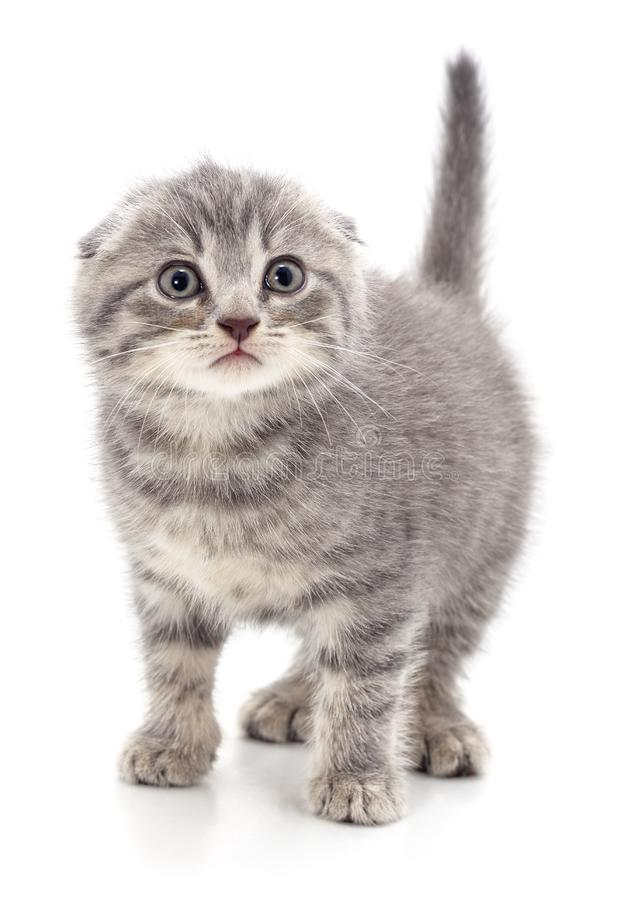 Серый красивый котенок стоковое фото rf