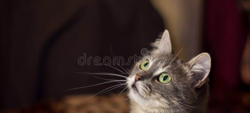 Серый красивый кот стоковые фотографии rf