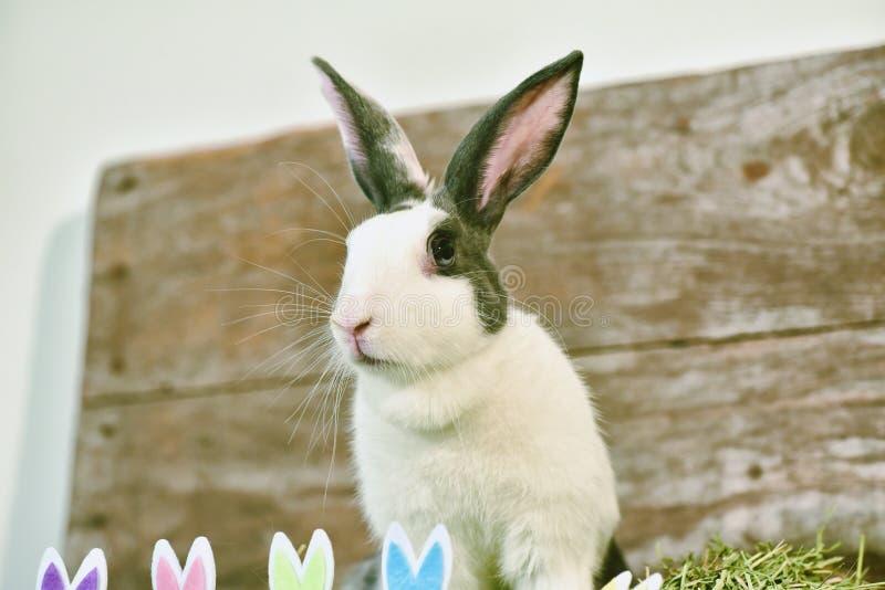 Серый кролик зайчика выглядя frontward к телезрителю, меньшему зайчику сидя с игрушкой ушей кролика стоковые фото