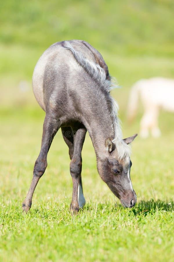 Серый осленок есть траву в поле стоковые изображения