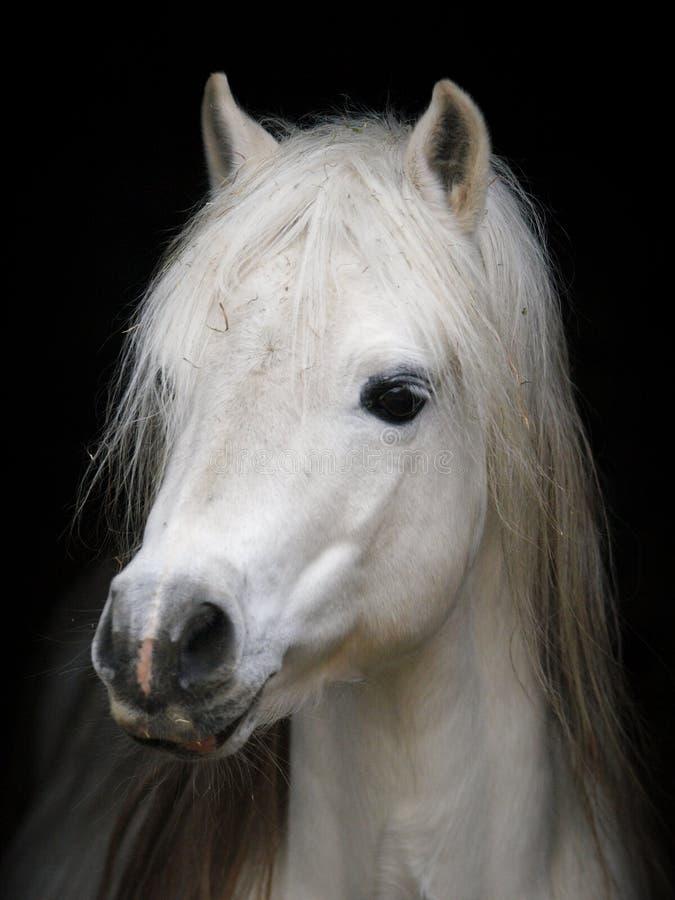 серый пони стоковое фото